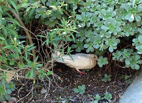 White dove hiding in bushes